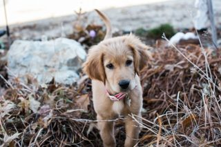 Golden Retriever Puppy playing in the fall leaves